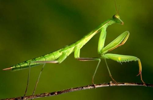Mantis Religiosa - Katana Mantis Religiosa